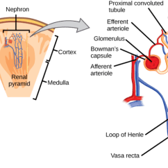 Kidney Nephron Structure Diagram Ford F100 Wiper Motor Wiring Biology For Majors Ii Illustration Shows The A Tube Like That Begins In Cortex