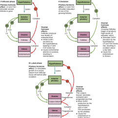 Menstrual Cycle Diagram With Ovulation Wiring Starter Motor The Ovarian And Menopause Biology For