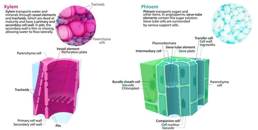 medium resolution of vascular tissue xylem and phloem