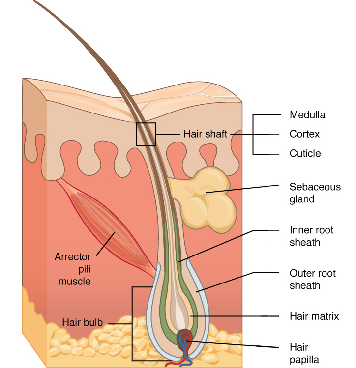 7 layers of skin diagram 24 volt wiring for trolling motor accessory structures the anatomy and physiology i this shows a cross section containing hair follicle