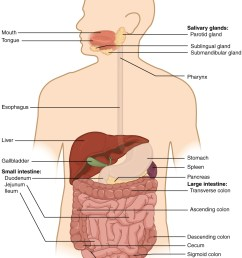 this diagram shows the digestive system of a human being with the major organs labeled [ 936 x 1185 Pixel ]
