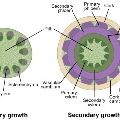 Plant Pith Diagram Cross Section Blank And Animal Cell Venn Stem Growth Biology For Majors Ii Left Illustration Shows A Of Woody Undergoing Primary At The