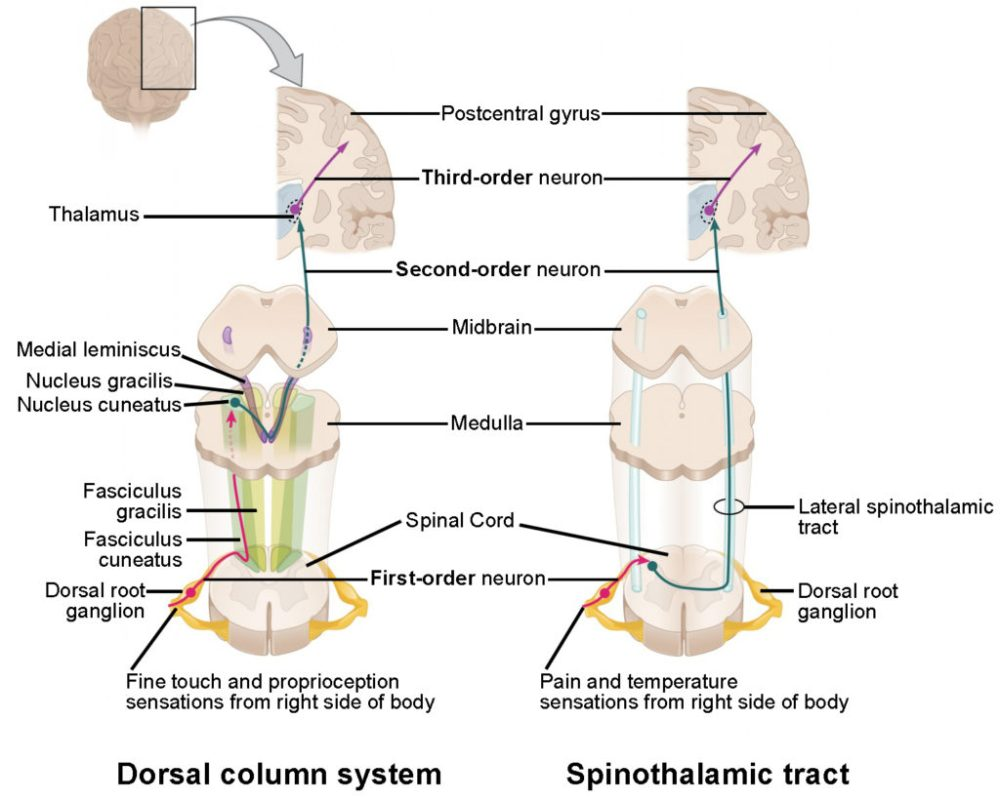 medium resolution of the left panel shows the dorsal column system and its connection to the brain the figure 1 ascending sensory pathways