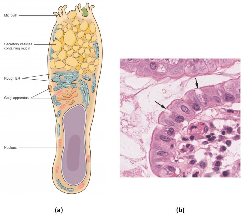 simple epithelial cell diagram house wiring diagrams uk tissue anatomy and physiology i
