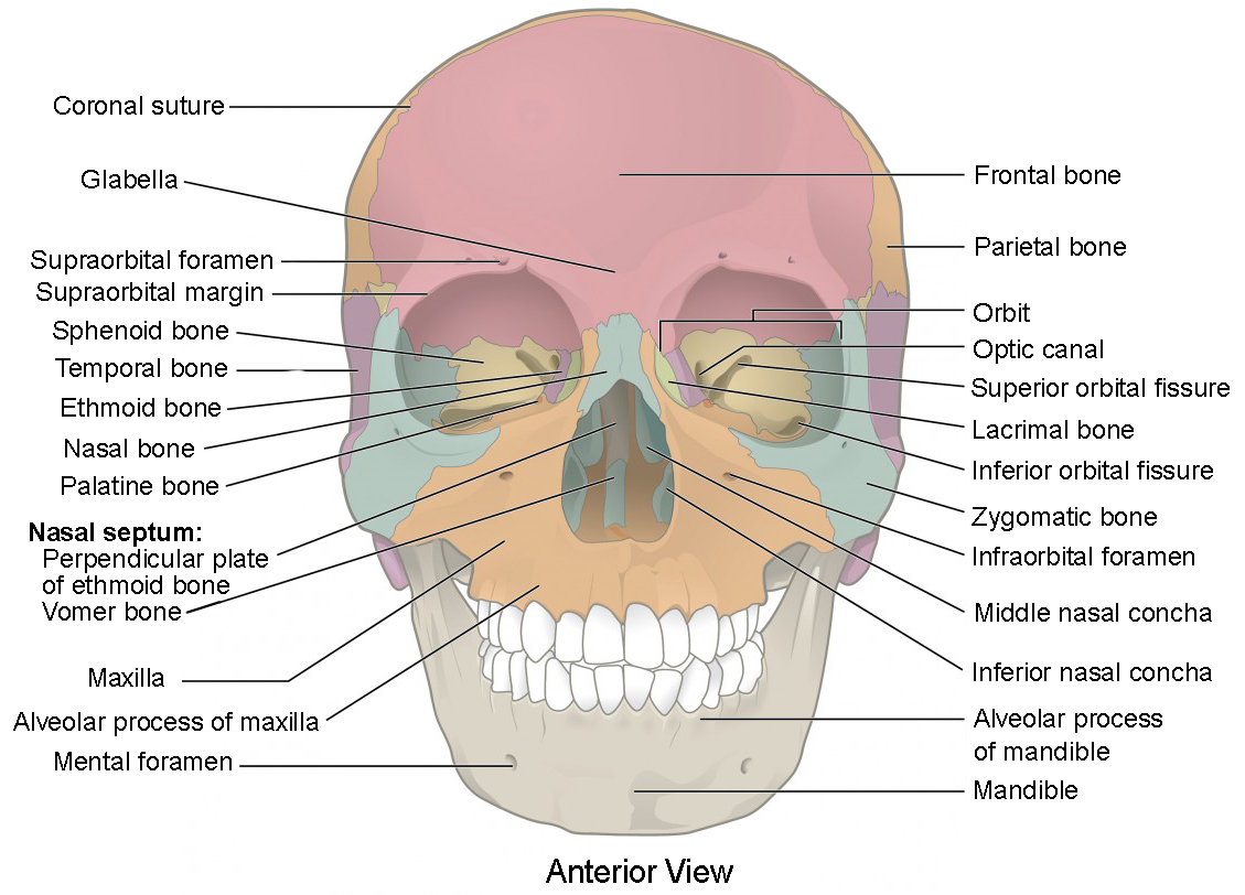 Human Skeleton Head Worksheet