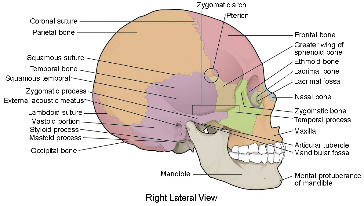 hight resolution of this image shows the lateral view of the human skull and identifies the major parts
