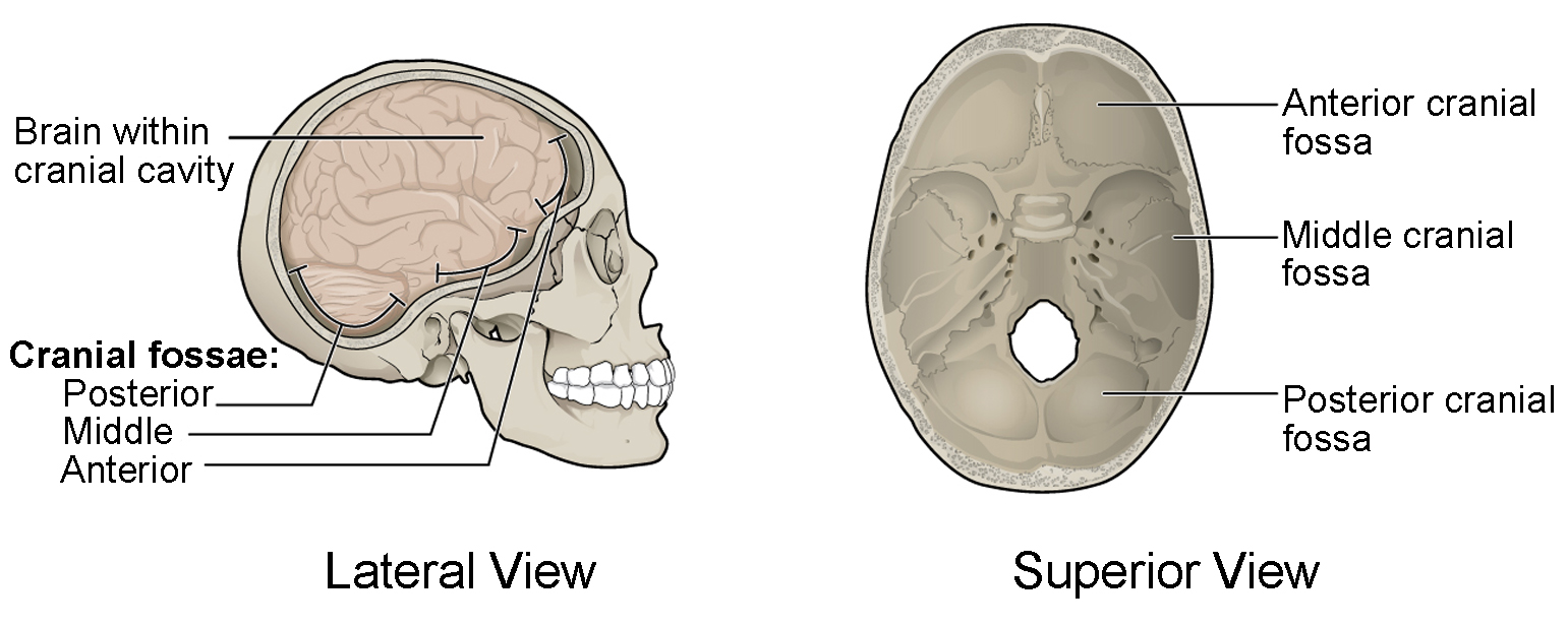 unlabeled skull diagram inferior view brownie sash the anatomy and physiology i this figure shows structure of cranial fossae top panel superior