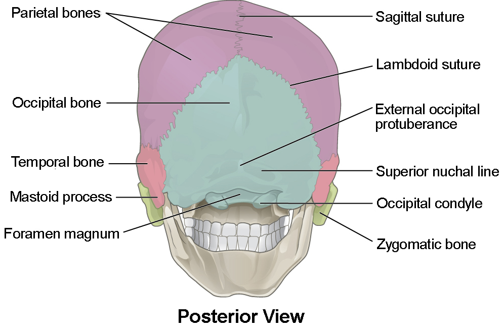 unlabeled skull diagram inferior view gm cruise control wiring the anatomy and physiology i this figure shows posterior of major parts are labeled