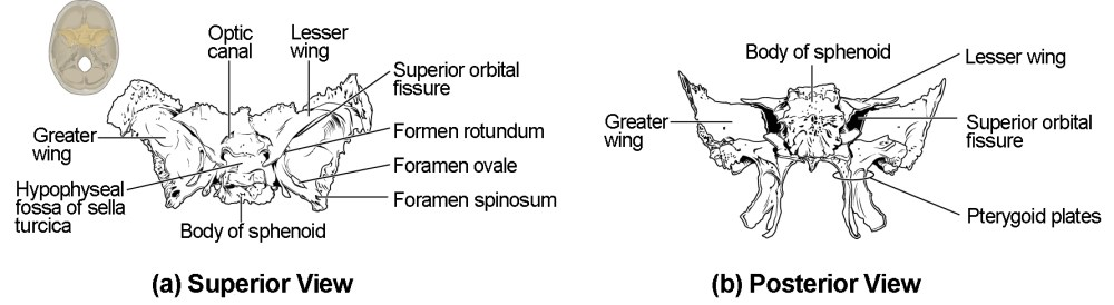 medium resolution of this image shows the location and structure of the sphenoid bone a small image of