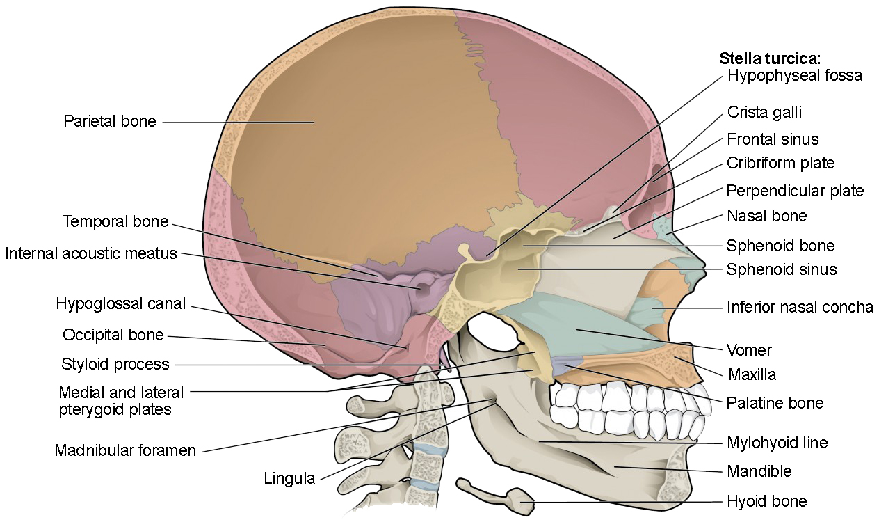 hight resolution of this diagram shows the sagittal section of the skull and identifies the major bones and cavities