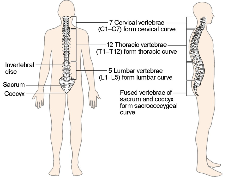 medium resolution of this image shows the structure of the vertebral column the left panel shows the front