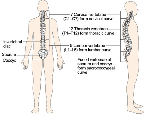 small resolution of this image shows the structure of the vertebral column the left panel shows the front