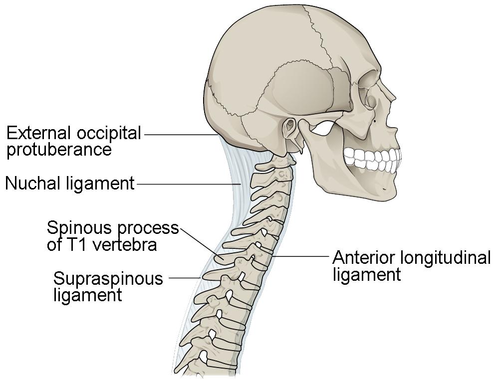 vertebrae diagram blank danfoss soft starter wiring the vertebral column anatomy and physiology i ligaments of