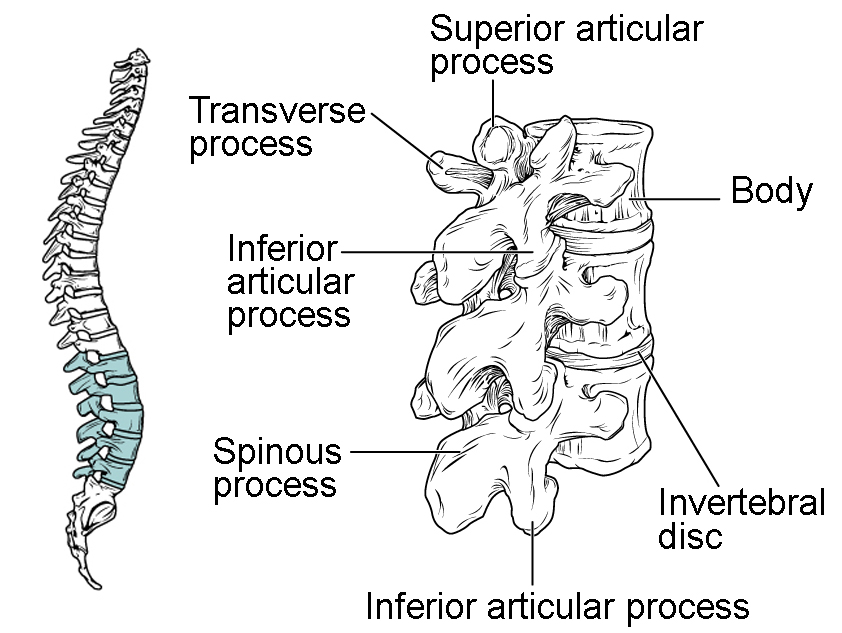vertebrae diagram blank crossover cable wiring the vertebral column anatomy and physiology i lumbar