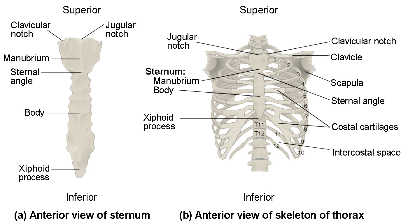 Blank Sternum Diagram