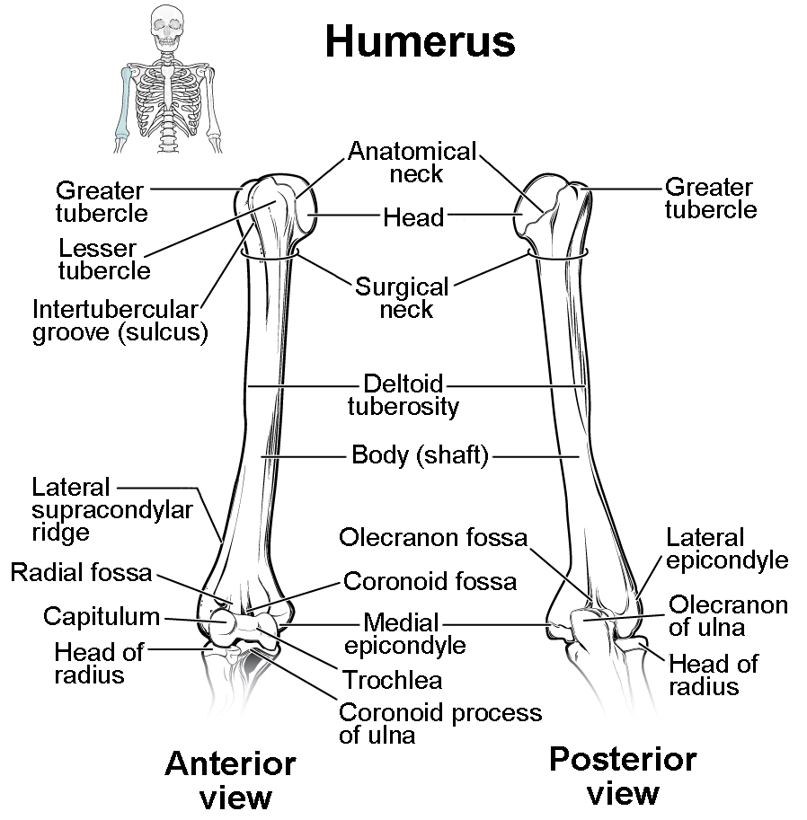 hight resolution of this diagram shows the bones of the upper arm and the elbow joint the left