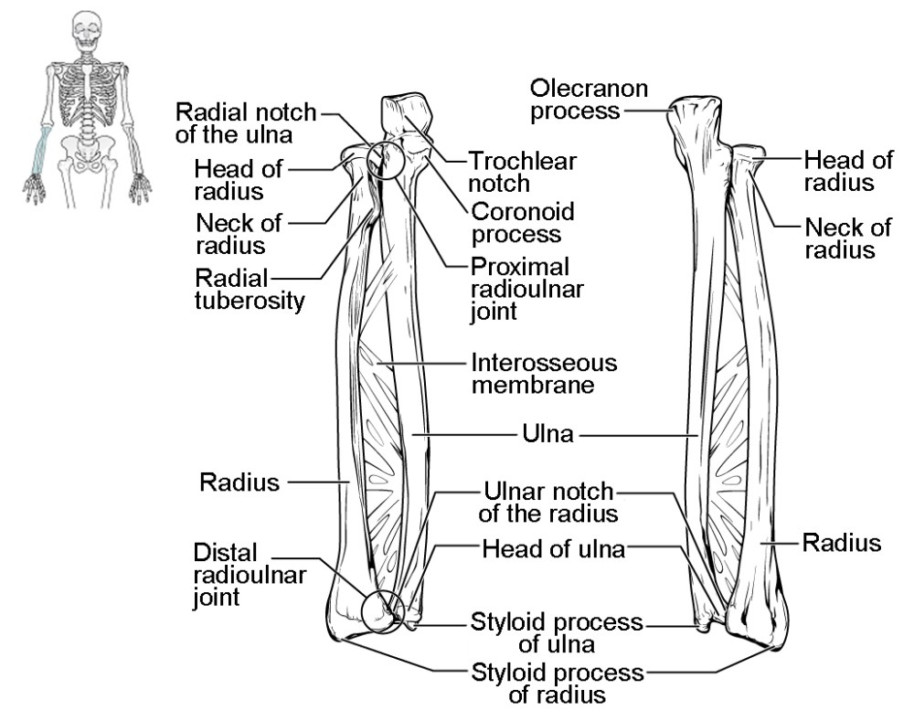 medium resolution of ulna this figure shows the bones of the lower arm