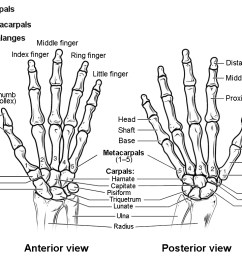 this figure shows the bones in the hand and wrist joints the left panel shows [ 1092 x 766 Pixel ]