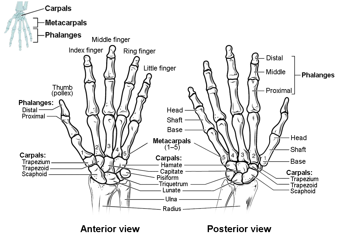 wrist and hand unlabeled diagram daisy air rifle parts bones of the upper limb anatomy physiology i this figure shows in joints left panel