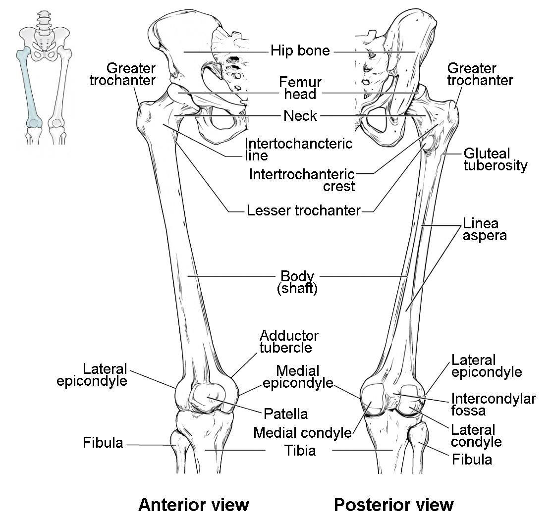 diagram of left hip bone