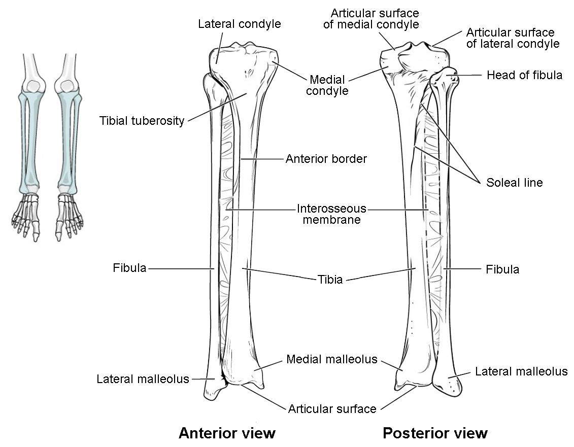 tibia fibula diagram