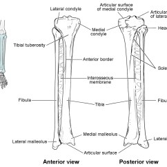 Tibia And Fibula Blank Diagram Apc Smart Ups 1500 Battery Wiring Bones Of The Lower Limb Anatomy Physiology I