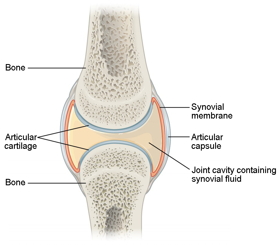hight resolution of structural features of synovial joints