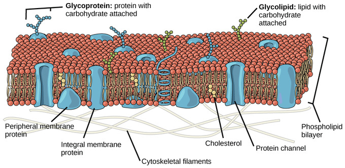 diagram of fluid mosaic model cell membrane chevy silverado components and structure boundless biology fluidity the plasma is a combination phospholipids cholesterol proteins carbohydrates attached to lipids glycolipids