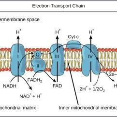 Explain Iron Carbon Phase Diagram Wiring Switch Oxidative Phosphorylation | Boundless Biology