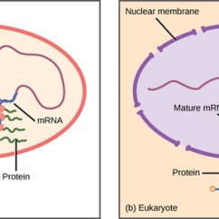 Translation Vs Transcription Venn Diagram Whirlpool Duet Sport Dryer Wiring Regulation Of Gene Expression | Boundless Biology