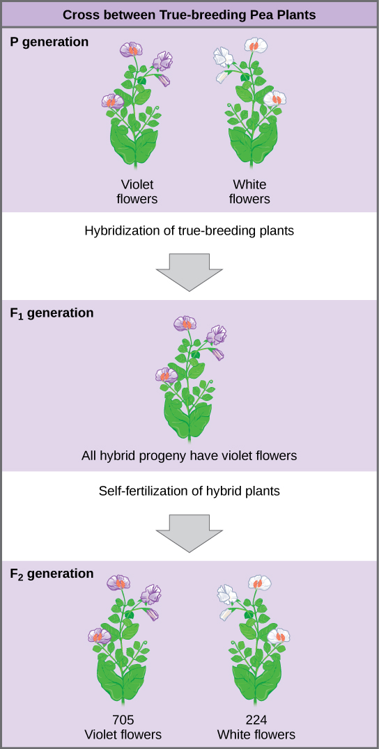 Hydrangea Plants Of The Same Genotype : hydrangea, plants, genotype, Inheritance, Boundless, Biology