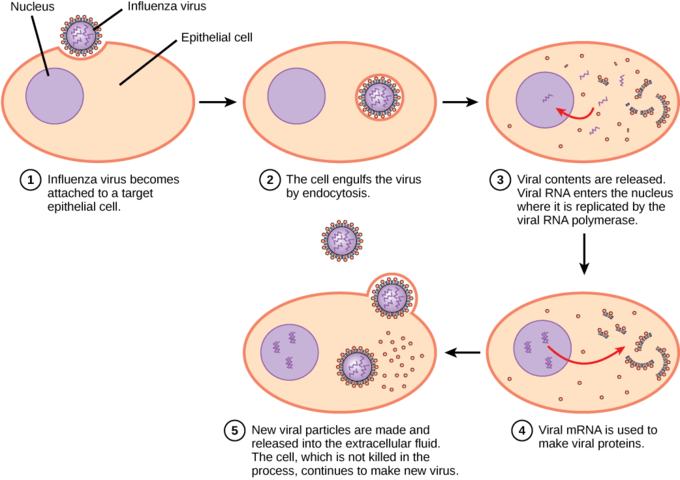 basic virus diagram 6 pin din plug wiring infections and hosts boundless biology pathway to viral infection in influenza glycoproteins attach a host epithelial cell as result the is engulfed