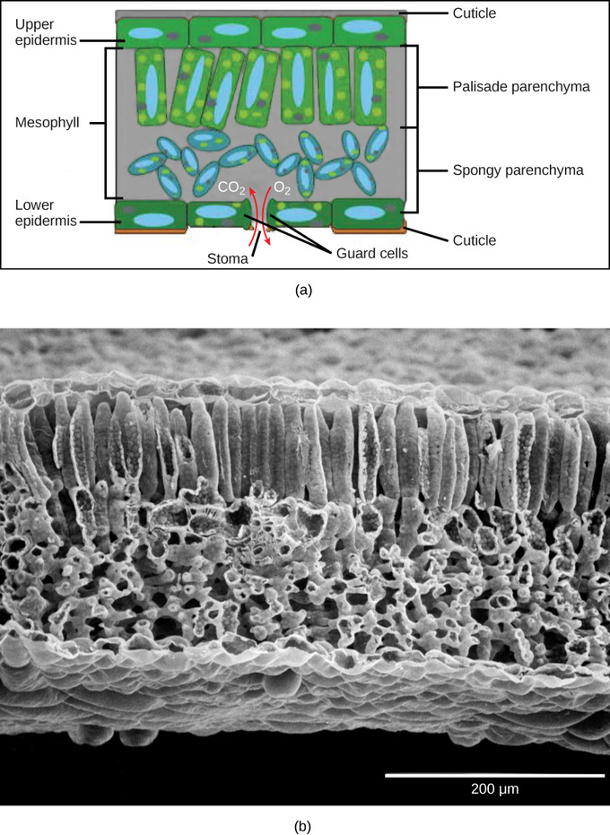 structure of stomata with diagram 7 wire trailer plug wiring leaves | boundless biology