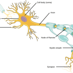 Detailed Neuron Diagram 03 Ford Explorer Fuse Neurons And Glial Cells Boundless Biology Cellular Structure Of Contain Organelles Common To Many Other Such As A Nucleus Mitochondria They Also Have More Specialized