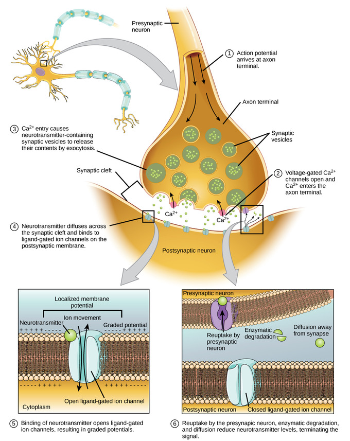 synapse diagram label 2005 jeep grand cherokee parts how neurons communicate boundless biology communication at a chemical synapses requires release of neurotransmitters when the presynaptic membrane is depolarized
