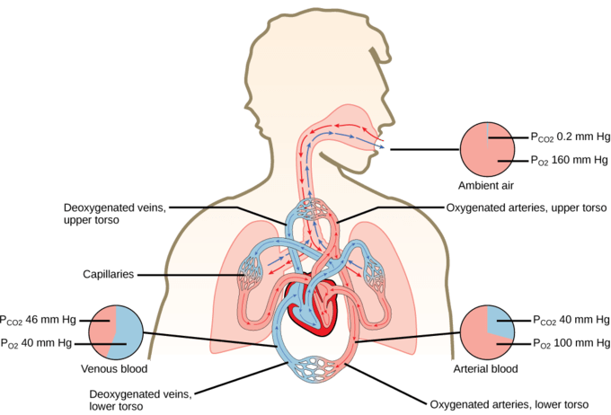 Detailed Scientific Nitrogen Cycle Diagram Gas Exchange Across Respiratory Surfaces Boundless Biology