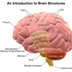 Brain Diagram Pons Fluorescent Ballast Wiring Structure And Function Of The Boundless Psychology Sulci Gyri As Depicted In This Structures Are Valleys Peaks Folds