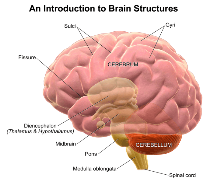 brain diagram pons 2016 ford f150 mirror wiring structure and function of the boundless psychology sulci gyri as depicted in this structures are valleys peaks folds