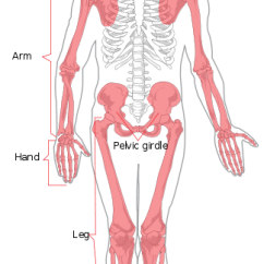 Human Skeleton And Muscles Diagram 1998 Honda Crv Parts Overview Of The Skeletal System Boundless Anatomy Physiology This Is A Full Frontal With Appendicular Colored Red