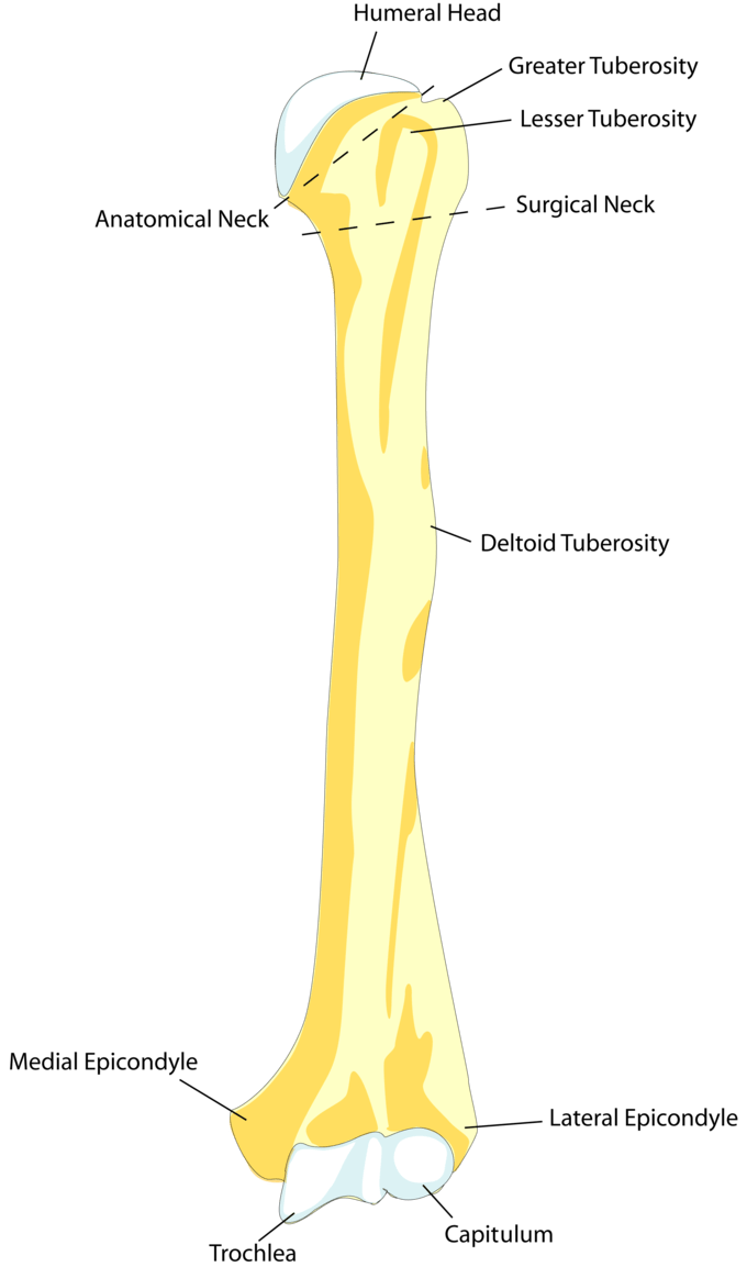 blank scapula bone diagram 96 jeep cherokee wiring the upper limb boundless anatomy and physiology this drawing of humerus shows how it attaches proximally to shoulderblade