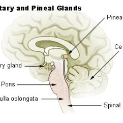 Brain Diagram Pons Generator Wiring Pdf The Stem Boundless Anatomy And Physiology With Pituitary Pineal Glands Medulla Oblongata Labeled At Bottom Left In Relation To Gland Spinal Cord