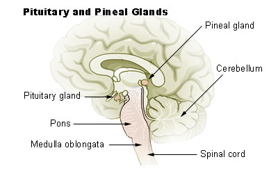 brain diagram pons 2006 ford f350 fuse the stem boundless anatomy and physiology with pituitary pineal glands medulla oblongata labeled at bottom left in relation to gland spinal cord