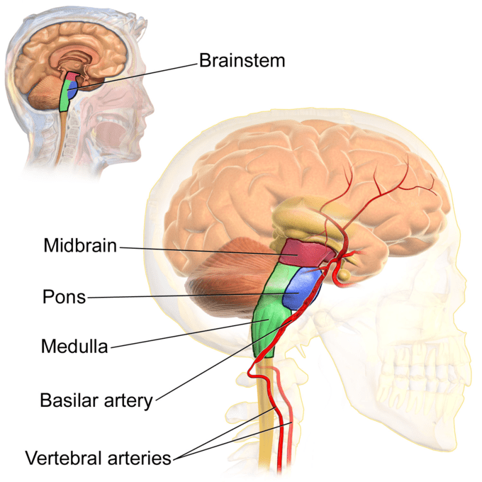 brain diagram pons 6 pin cdi unit wiring the stem boundless anatomy and physiology qbrbxd7wrgqtzo7wadjl png