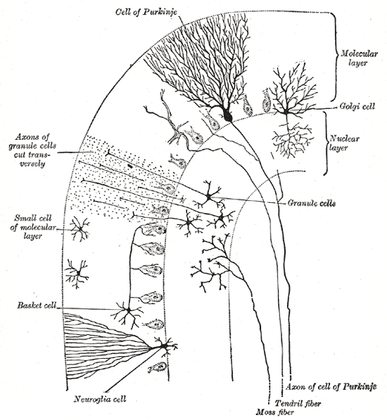 This diagram depicts the cell of Purkinje and its axon, tendril fiber, moss fiber, neuroglia cell, basket cell, small cell of molecular layer, molecular layer, Golgi cell, nuclear layer, and granule cells and their axons.