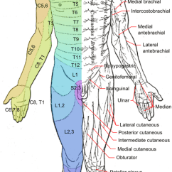 Lumbar Nerve Root Diagram How Credit Card Processing Works Spinal Nerves Boundless Anatomy And Physiology This Is A Drawing Of The Human Body From Ventral View It Shows Dermatomes