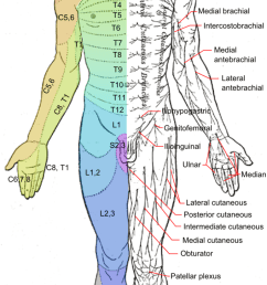 this is a drawing of the human body from a ventral view it shows dermatomes [ 680 x 1383 Pixel ]