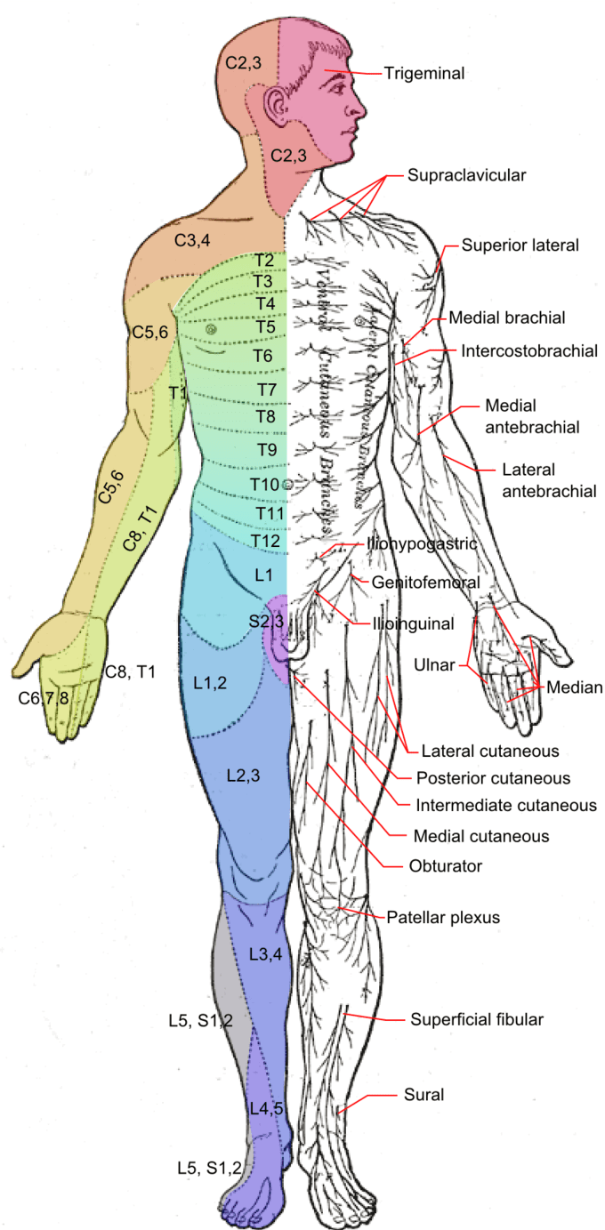 hight resolution of this is a drawing of the human body from a ventral view it shows dermatomes