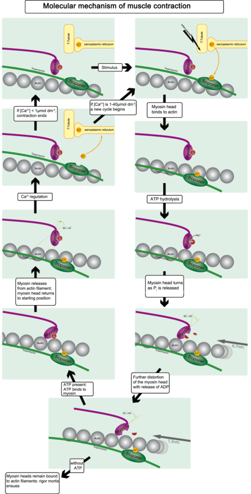 small resolution of this diagram illustrates the molecular mechanism of muscular contraction with application of a stimulus
