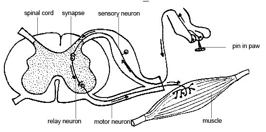 diagram of a simple reflex arc structure human ear reflexes boundless anatomy and physiology this is drawing that diagrams the path taken by nerve