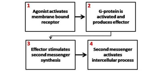 This is a general schematic diagram of second messenger generation following the activation of membrane-bound receptors. 1. The agonist activates the membrane-bound receptor. 2. G-protein is activated and produces an effector. 3. The effector stimulates a second messenger synthesis. 4. The second messenger activates an intercellular process.